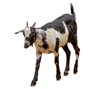 Two Goat (male and female)
